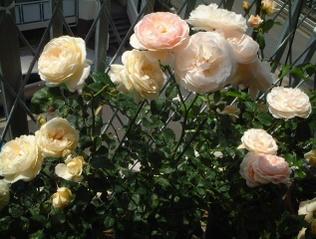 07english_rose