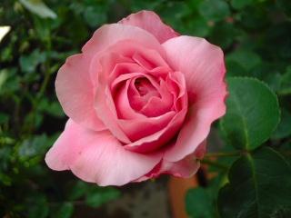 07lilac_rose_02