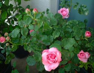 07lilac_rose_03