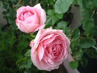 07lilac_rose_07