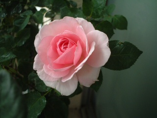 07lilac_rose_11