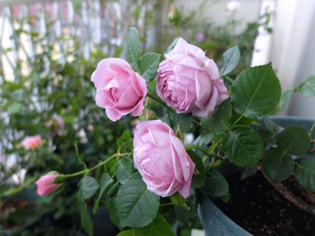 19lilac-rose