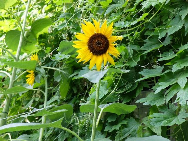 19sun-flower