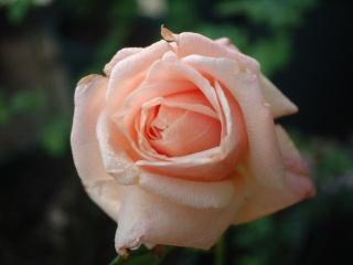 Perle_des_jardins02