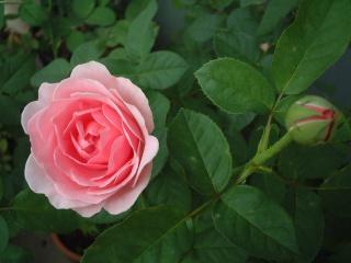 07lilac_rose_19_2