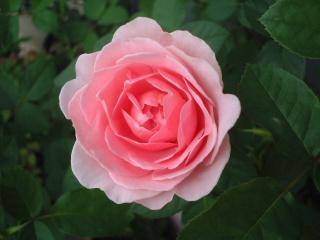 07lilac_rose_20
