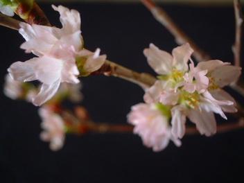 Sakura_06_2