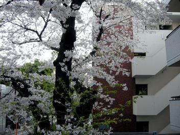 08sakura_03_2