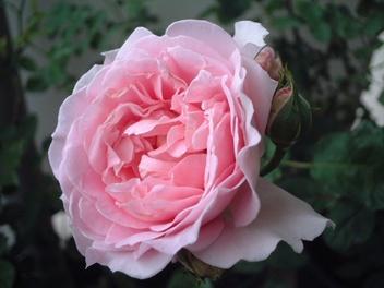 08lilac_rose