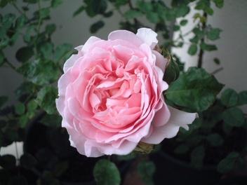 08lilac_rose_01