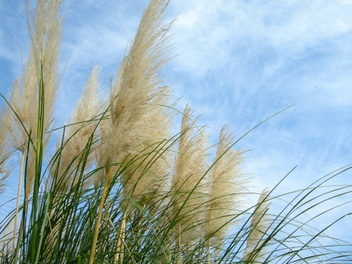 08pampas_grass01