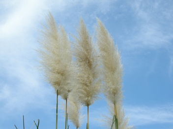 08pampas_grass02