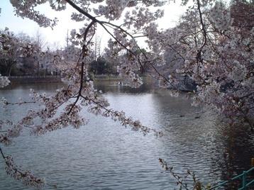 2009sakura_01