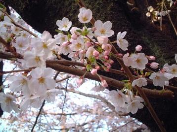 2009sakura_04