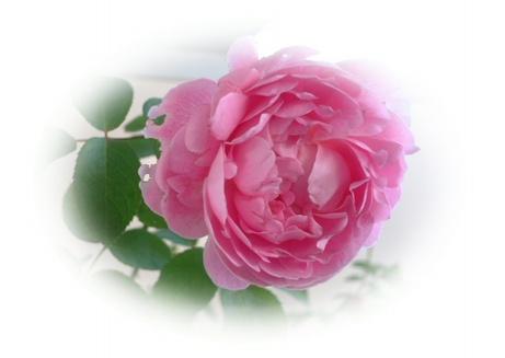 09new_rose