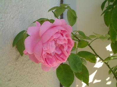 09new_rose01