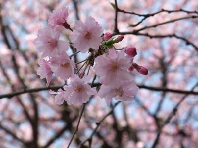10shidarezakura_05_2