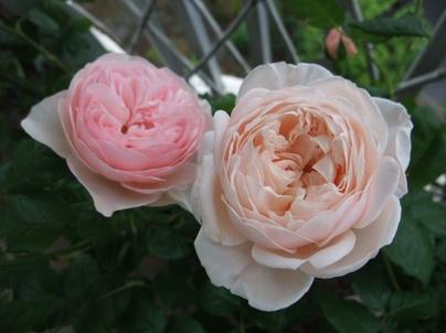10english_roses_02