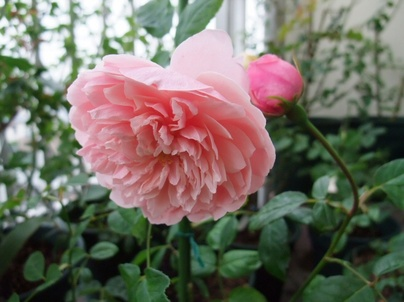 10the_alnwick_rose