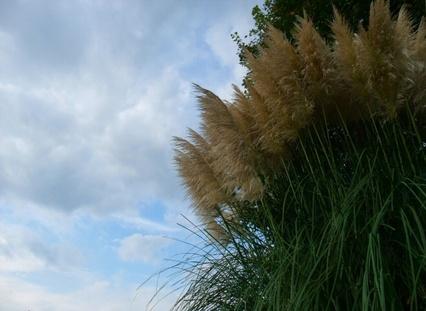 10pampas_grass_2