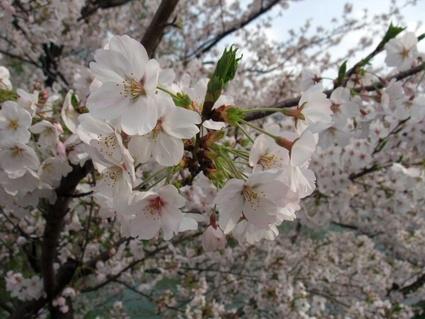 11sakura_biyori_09