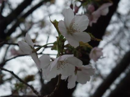 11yamazakura01