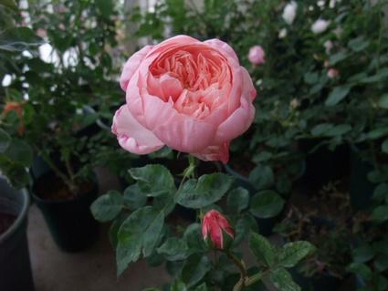 11the_alnwick_rose_2