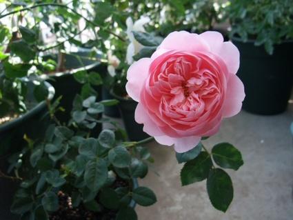 11the_alnwick_rose_01