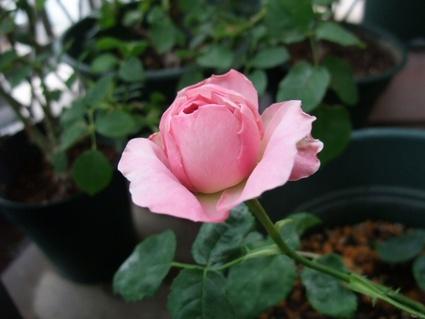 11lilac_rose_02