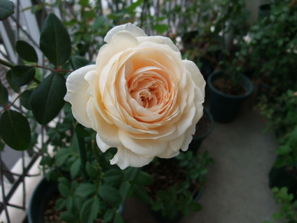 11rose_marie