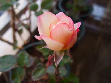 12kordana_rose_2