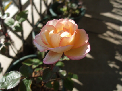 12kordana_rose_01