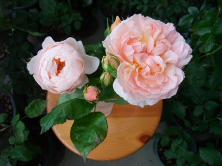 12english_roses_2