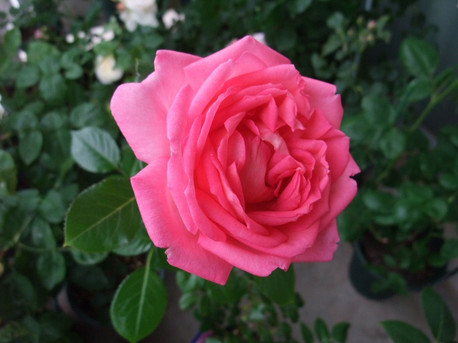 12la_rose_de_molinard