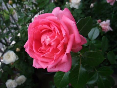 12la_rose_de_molinard_01