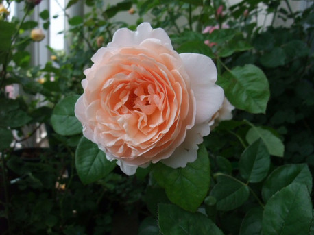 12ambridge_rose_04