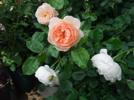 12ambridge_rose_05