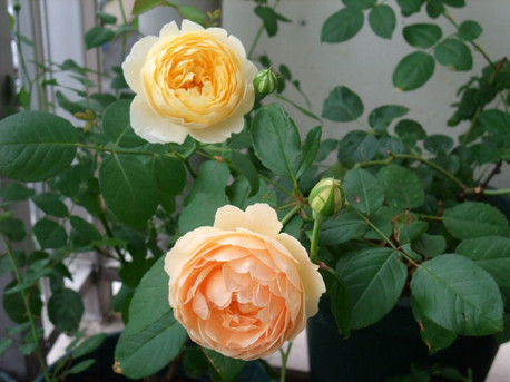 12english_roses_03