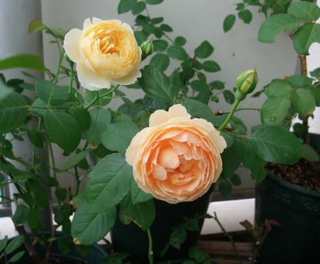 12english_roses_04