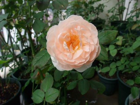 12ambridge_rose_11