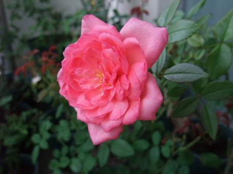 12la_rose_de_molinard_04