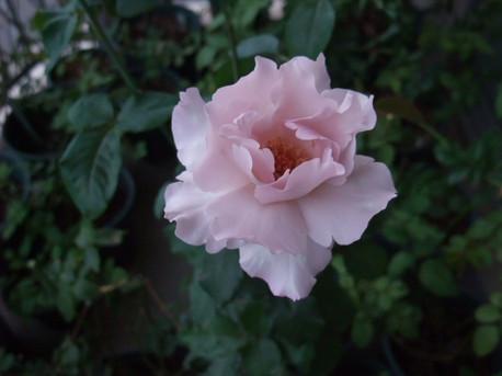 12couture_rose_tilia_01