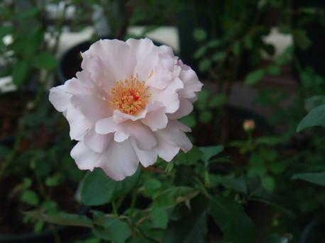 12couture_rose_tilia_02