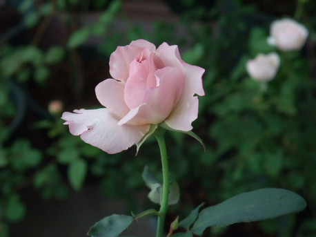 12couture_rose_tilia_03