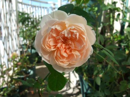 12ambridge_rose_12