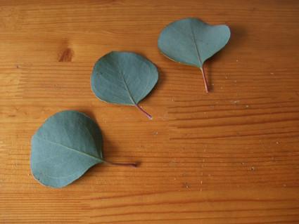 12eucalyptus