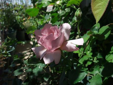 13couture_rose_tilia