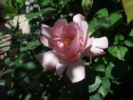 13couture_rose_tilia_01