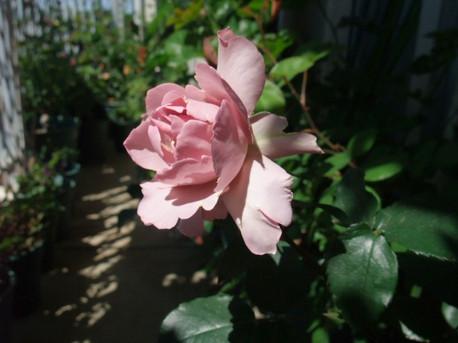 13couture_rose_tilia_03