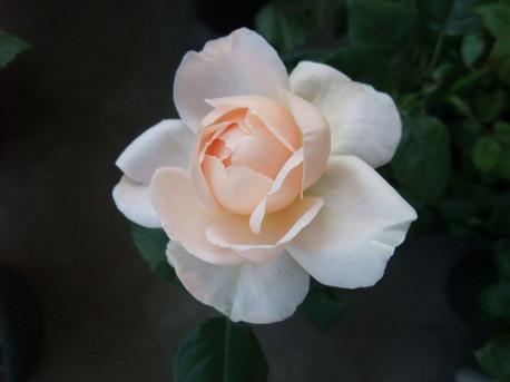 13ambridge_rose_02
